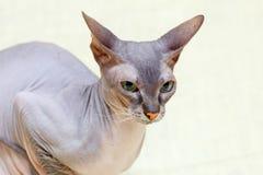 Donskoy Sphynx猫 免版税图库摄影