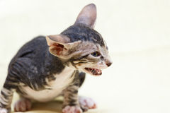 The Donskoy  Sphynx cat. Stock Image