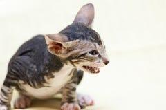 The Donskoy  Sphynx cat. Stock Image