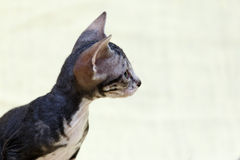 The Donskoy  Sphynx cat. Stock Images