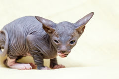 The Donskoy  Sphynx cat. Royalty Free Stock Image