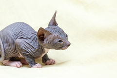 The Donskoy  Sphynx cat. Stock Photography