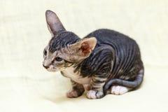 The Donskoy  Sphynx cat. Stock Photo