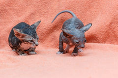 The Donskoy  Sphynx cat. Stock Photos