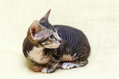 The Donskoy  Sphynx cat. Royalty Free Stock Images