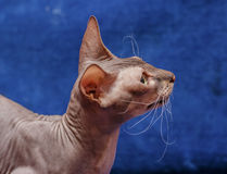 Donskoy  Sphynx. Donskoy  Sphynx (female) on blue background. Vitebsk. Belarus. 2013 Royalty Free Stock Photo