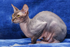 Donskoy  Sphynx. Donskoy  Sphynx (female) on blue background. Vitebsk. Belarus. 2013 Stock Image