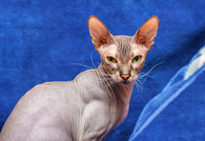 Donskoy  Sphynx. Donskoy  Sphynx (female) on blue background. Vitebsk. Belarus. 2013 Stock Images