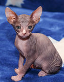 Donskoy  Sphynx. Royalty Free Stock Photos