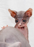 Donskoy  Sphynx. Donskoy  Sphynx (kitten) on white background. Vitebsk. Belarus. 2013 Stock Photo