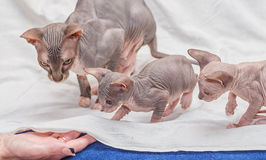 Donskoy  Sphynx. Donskoy  Sphynx (kittens and female) on white background. Vitebsk. Belarus. 2013 Stock Photo