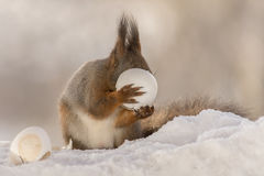 Dont be shy. Close up of red squirrel standing  in snow with broken egg in hands Royalty Free Stock Image