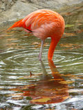 Dont bury your head! flamingo Stock Photos