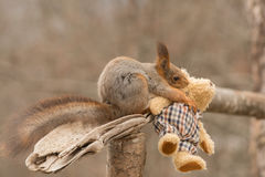 Dont fall. Red squirrel holding  a bear in the mouth Royalty Free Stock Photography