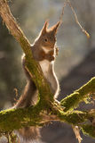 Dont look down. Close up of  red squirrel standing on tree trunk with moss looking down Royalty Free Stock Photography