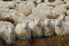 Dont mess with us. Many sheep in heather area looking angry stock photography