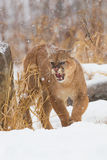 Dont piss me off. Very agitated mountain lion in snow Royalty Free Stock Photography