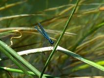 Donzela-mosca azul Foto de Stock Royalty Free