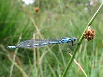 Donzela-mosca azul Imagens de Stock Royalty Free