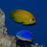 Donzella del diavolo blu di angelo e di Figi della scorza di limone Fotografie Stock