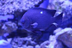 Donzella tropicale di domino del pesce Fotografia Stock Libera da Diritti