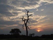 Dood boomsilhouet tegen een bewolkte hemelzonsondergang Stock Afbeeldingen