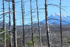 Dood Bos, Tolbachik-vulkaan Stock Foto's
