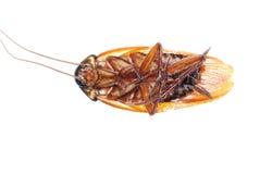 Dood de kakkerlakkeninsect van het insect Stock Fotografie