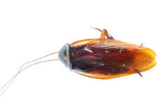 Dood de kakkerlakkeninsect van het insect Royalty-vrije Stock Foto's