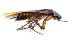 Dood de kakkerlakkeninsect van het insect Stock Afbeelding