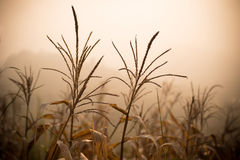 Dood graan - Door de droogte geteisterd Graan Royalty-vrije Stock Fotografie