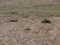 Dood gras en onkruid stock foto