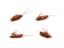 Dood insect, Aziatische kakkerlak Stock Fotografie