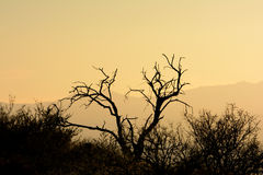 Dood Mesquite-Boomsilhouet in Woestijn bij Zonsondergang stock fotografie