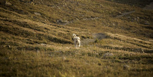 Doodle in Alpine Field. Labradoodle running in an alpine field above loveland pass in Colorado's Rocky mountains Royalty Free Stock Photography