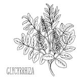 Doodle plants Licorice is a medicinal plant. The drawn contour Stock Photography