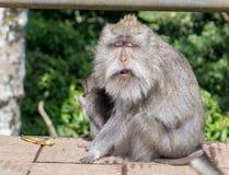 Doof alter Affe in Bali, Indonesien Lizenzfreie Stockfotos