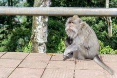 Doof alter Affe in Bali, Indonesien Stockfotografie