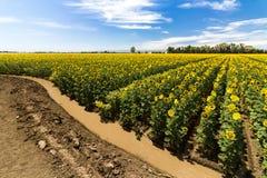 Doof - Dorstige Zonnebloemen royalty-vrije stock afbeeldingen