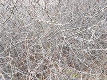Doof struikgewas van struiken Textuur en achtergrond van grijze droge takken Onoverschrijdbaare krottenwijken van hout Het natuur royalty-vrije stock foto's