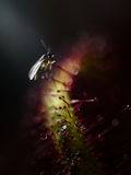 Fly on Carnivorous Plant Stock Photography