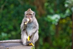 Cute monkeys lives in Ubud Monkey Forest, Bali, Indonesia. The doomed macaque sits on the roof, at the feet holding the skin and with his hands eating a banana Stock Photos