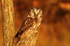 Doomster owl Stock Photos