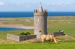 Doonagore castle with Irish cow in Doolin - Irelan Royalty Free Stock Image
