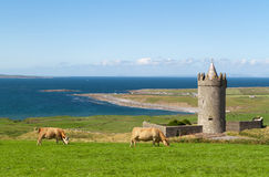 Doonagore castle with Irish cows in Doolin - Irela Royalty Free Stock Photo