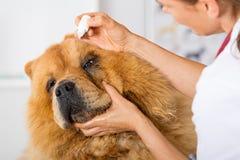 Door aan een hond Veterinair Chow Chow te luisteren Stock Afbeelding