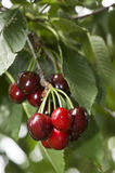 Door County Cherries. After a refreshing rain royalty free stock photo