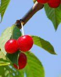 Door County Cherries Stock Photo