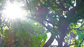 Door de groene takken van bomen in de rook glanst de zon stock video