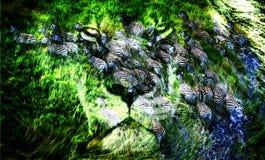 Door het gezicht van een leeuw is een kudde van zebras zichtbaar stock fotografie
